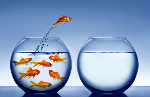 goldfish goldfish jumping out of the water mid air stock pictures, royalty-free photos & images