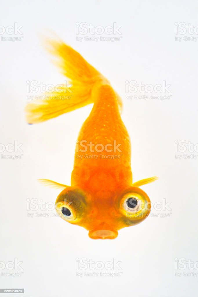 Goldfish foto stock royalty-free