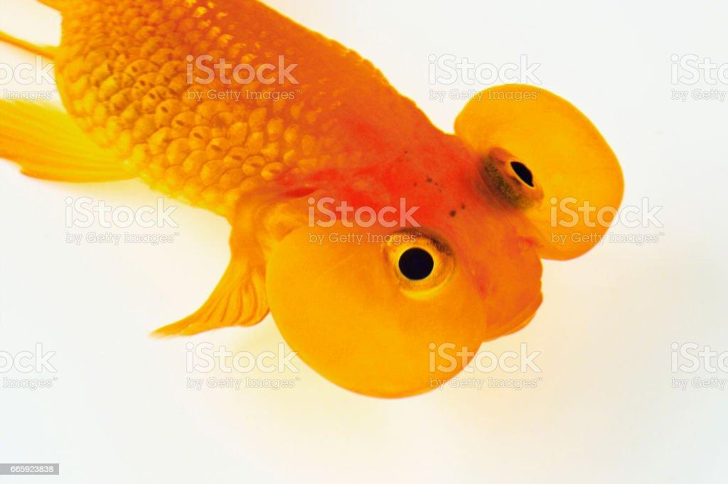 Goldfish foto stock royalty-free