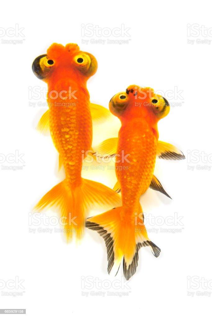 Goldfish, foto stock royalty-free
