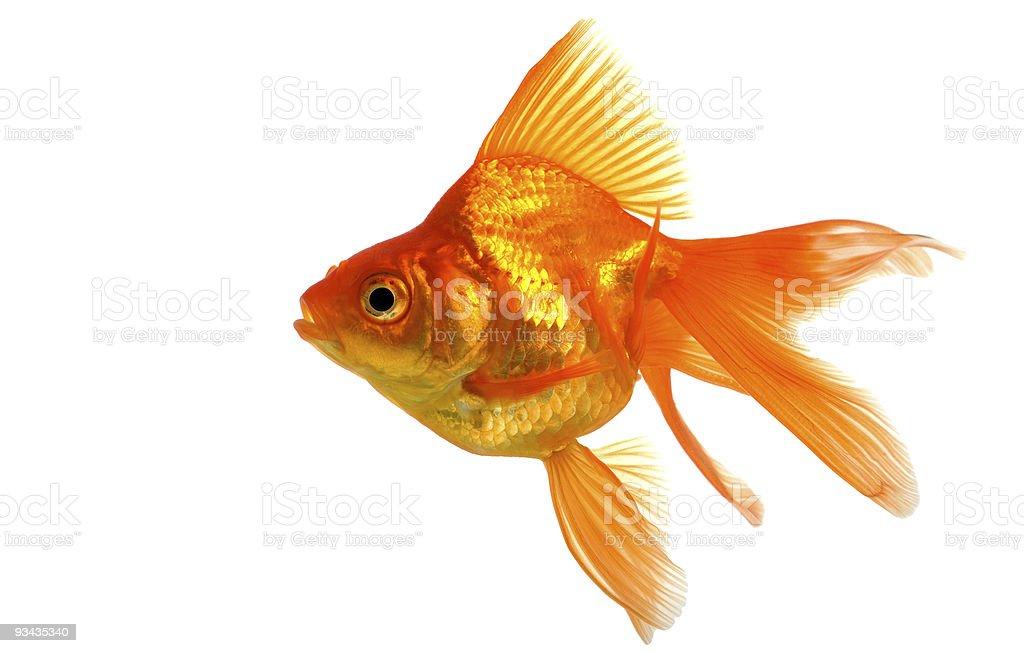Goldfisch Lizenzfreies stock-foto