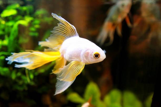 Imagem goldfish. Os peixes japoneses pequenos sós nadam em um aquário, de perto acima. Peixes dourados bonitos em um aquário de água doce em um fundo preto com plantas subaquáticas verdes decorativas. - foto de acervo