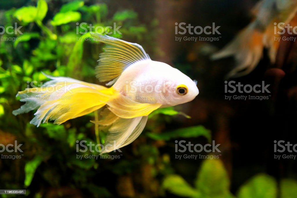 Goldfish Picture Lonely Small Japanese Fish Swims In An Aquarium Close Up Beautiful Golden Fish In A Freshwater Aquarium On A Black Background With Decorative Green Underwater Plants Stock Photo Download