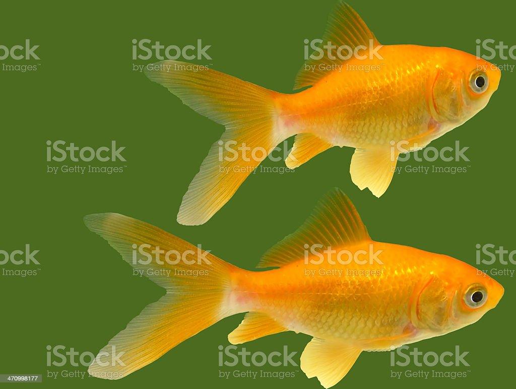 Goldfish stock: isolated royalty-free stock photo