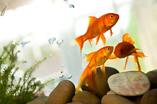 Goldfish swimming in tank  animal mouth stock pictures, royalty-free photos & images