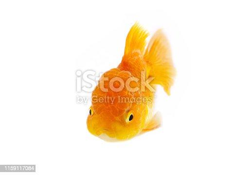 Goldfish swimming on white background ,Gold fish,Decorative aquarium fish,Gold fish. Isolation on the white