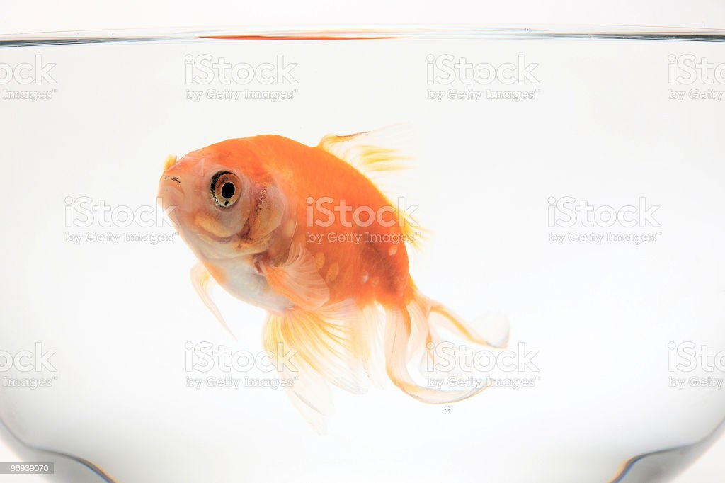 Goldfish swimmng in a glass bowl, side view royalty-free stock photo