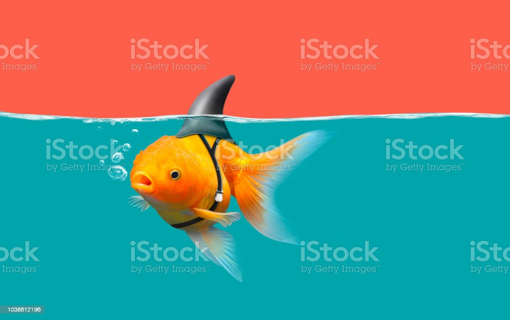 Goldfish with shark fin swim in green water and red sky, Gold fish with shark flip . Mixed media Goldfish with shark fin swim in green water and red sky, Gold fish with shark flip . Mixed media Animal Stock Photo
