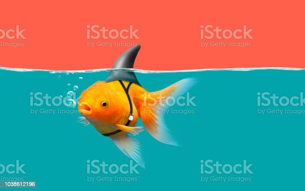 Goldfish with shark fin swim in green water and red sky gold fish picture id1038612196?b=1&k=6&m=1038612196&s=612x612&h=cwnqedxgxlctid7qfykpnquadqucsgmixhnfmm tqi0=