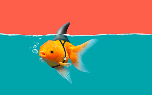Goldfish With Shark Fin Swim In Green Water And Red Sky Gold Fish With Shark Flip Mixed Media Stock Photo - Download Image Now