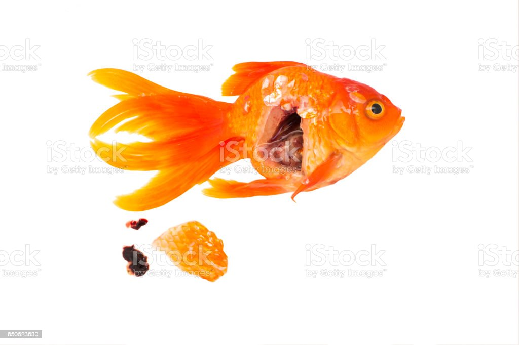 Goldfish your dead isolated stock photo