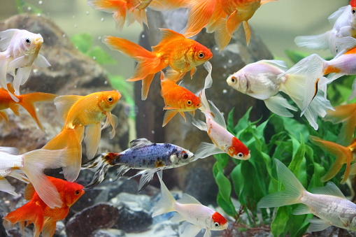 Goldfishes in a freshwater aquarium