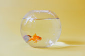 Two goldfish in a fish bowl . Photographed on yellow pastel background with natural light only . Camera is Canon 6D with 50mm lens.