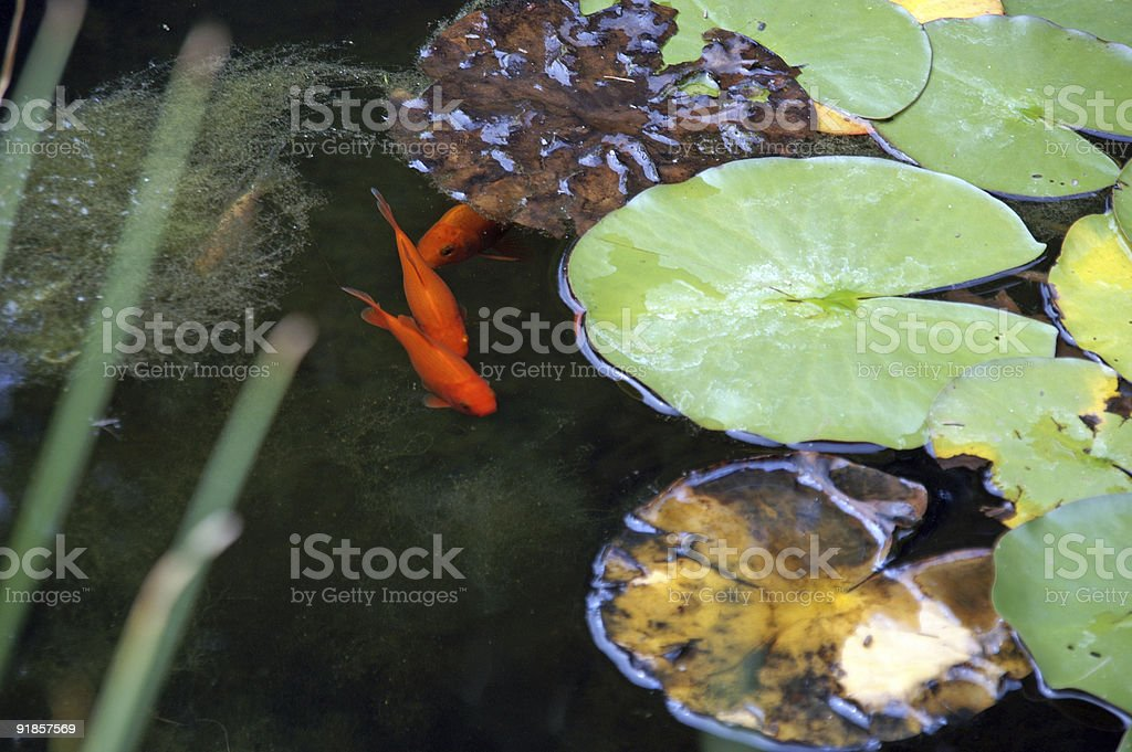 goldfishes royalty-free stock photo