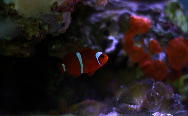 Best Maroon Clownfish Stock Photos, Pictures & Royalty-Free