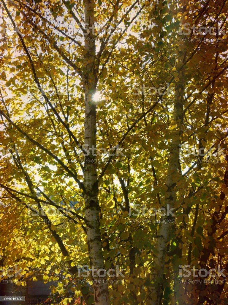 Goldgelb leuchtendes Blattwerk in voller Sonne stock photo