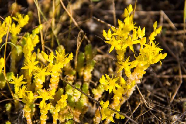 goldmoss mauerpfeffer (sedum acre) wiese blumen - sternmoos stock-fotos und bilder