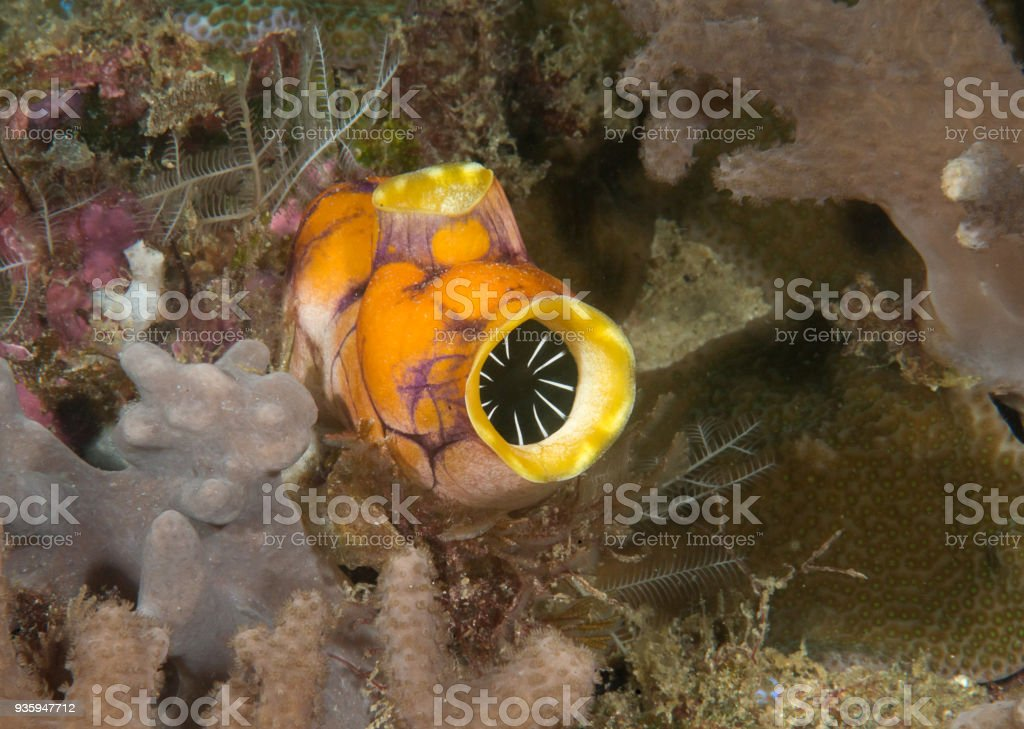Gold-mouth or ink spot sea squirt  resting on coral reef stock photo