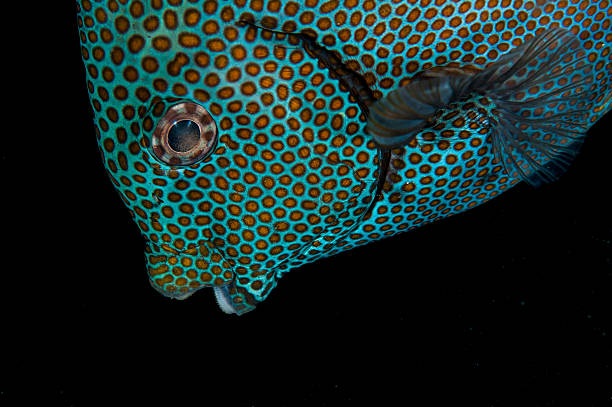 Goldspotted Rabbitfish in Bali Goldspotted Rabbitfish in Tulamben, Bali nemo museum stock pictures, royalty-free photos & images