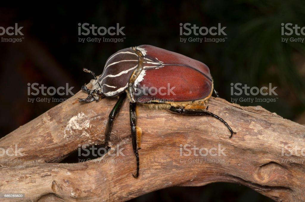 Goliath beetle (Goliathus goliathus). stock photo