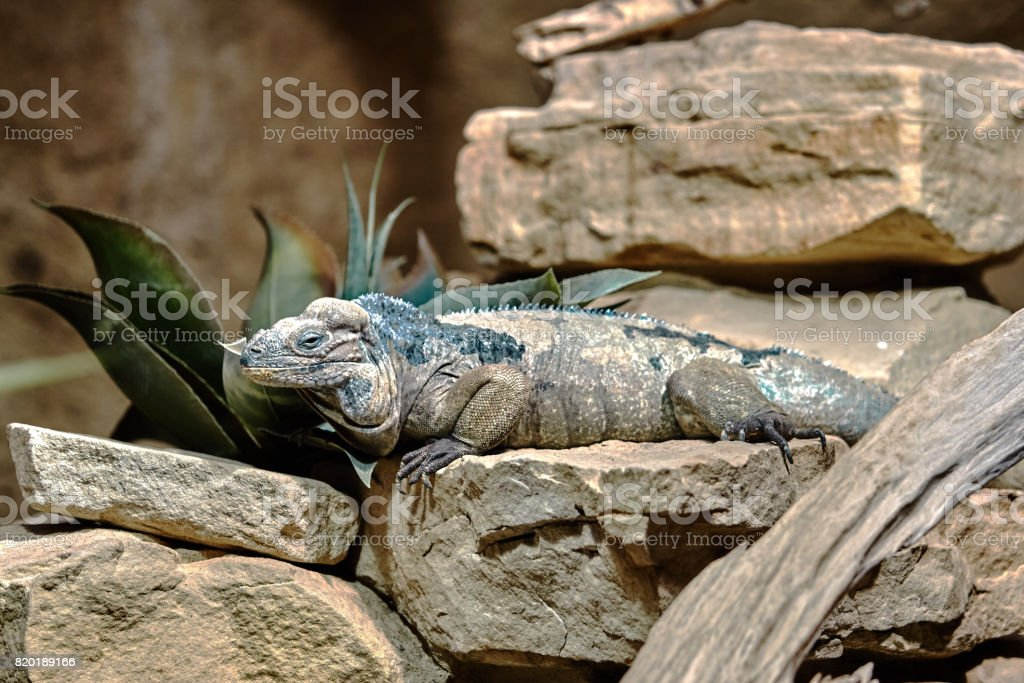 Goliath Dragons. Rhinoceros iguana. Lizard reptile iguana stock photo