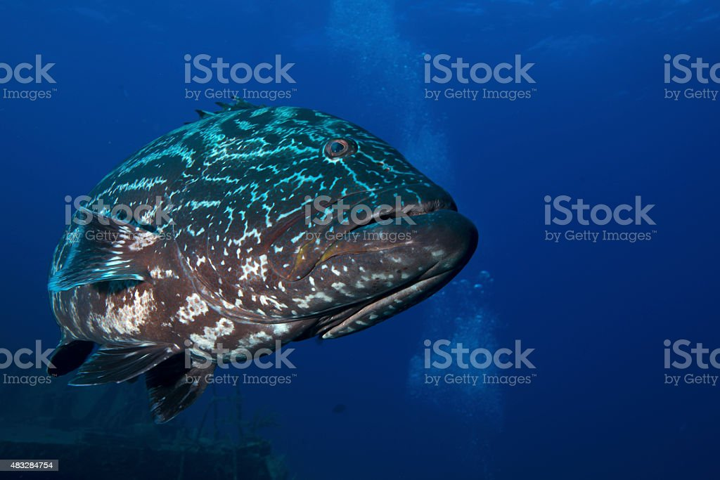 Goliath Grouper Stock Photo More Pictures Of 2015 Istock