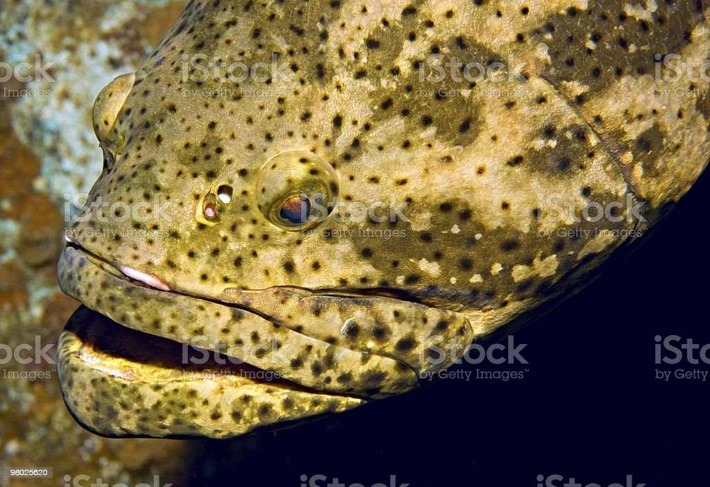 Goliath Grouper royalty-free stock photo