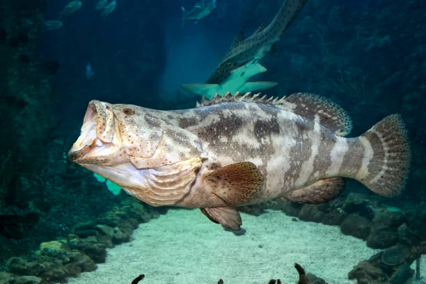 Goliath grouper (Epinephelus itajara) with open mouth. Close up stock photo