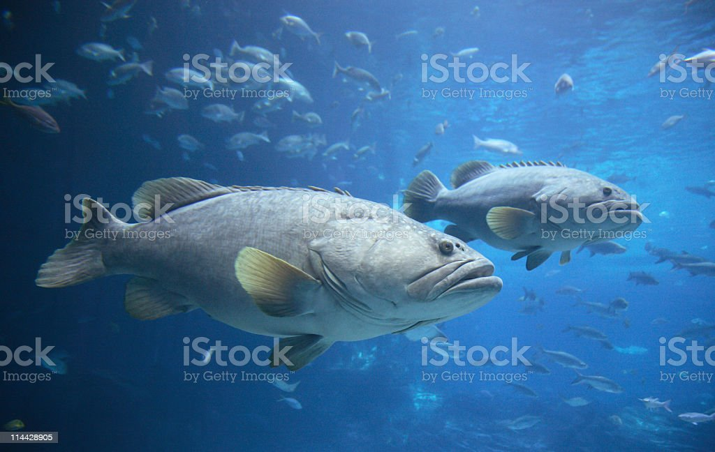 Goliath groupers or jewfish stock photo