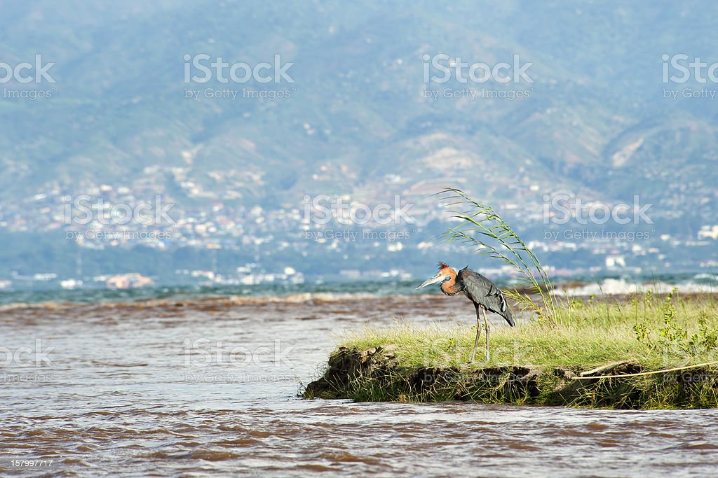 Goliath Heron in the Ruzizi River Delta, Bujumbura, Burundi stock photo