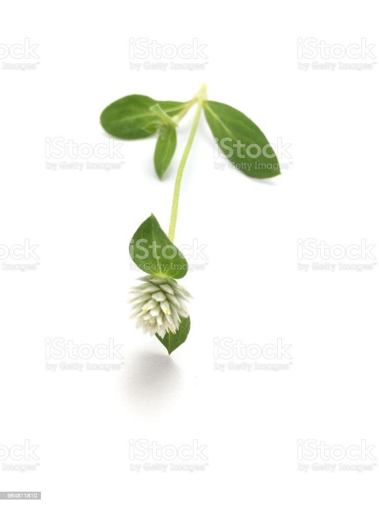 Gomphrena celosioides flower on white background royalty-free stock photo