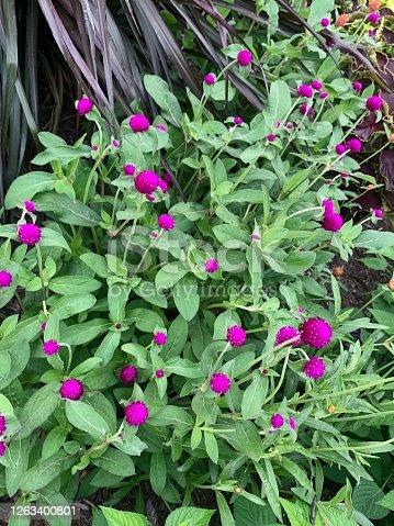 Globe Amaranth in flower garden