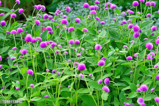 Gomphrena globosa, commonly called globe amaranth, is an annual that grows on upright branching stems. The true flowers are tiny and inconspicuous white to yellow trumpets that are only visible close-up. It is the bright bracts with clover-like flower heads that provide the colorful bulk of its structure from June to October. The range of flower head colors include red, pink, purple, lilac, violet and white.