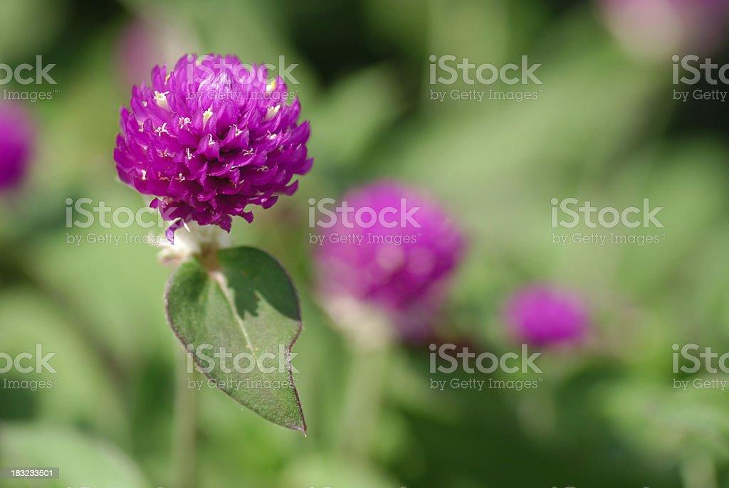 Resultado de imagem para perpétua flor