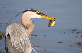 Portrait of a great blue heron holding a fish by it's gill. Photographed in Ohio in the springtime.