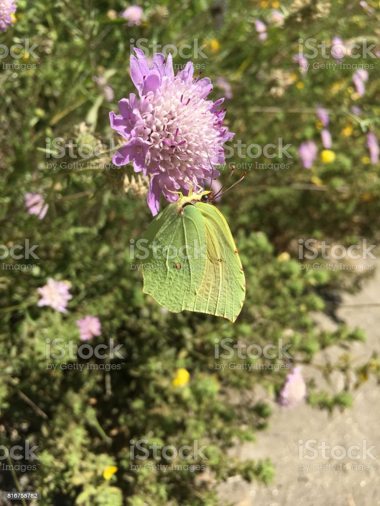 Gonepteryx cleopatra on a flower stock photo