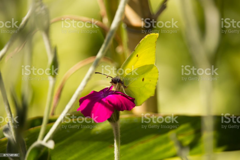Gonepteryx cleopatra on Flower stock photo
