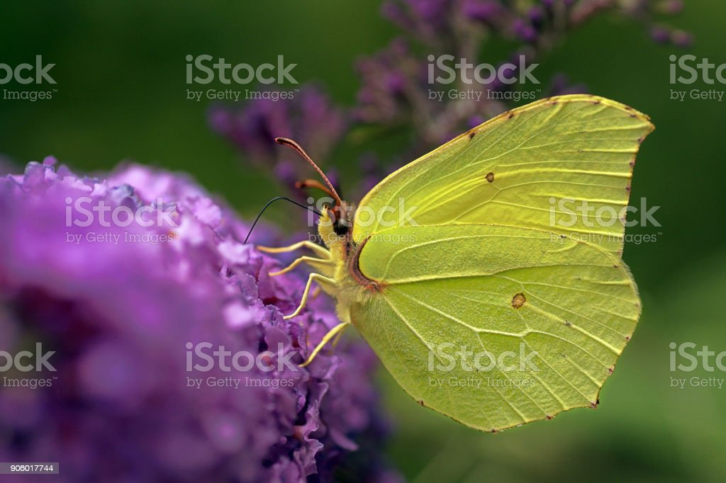 Gonepteryx rhamni (known as the common brimstone) is a butterfly of the family Pieridae. stock photo