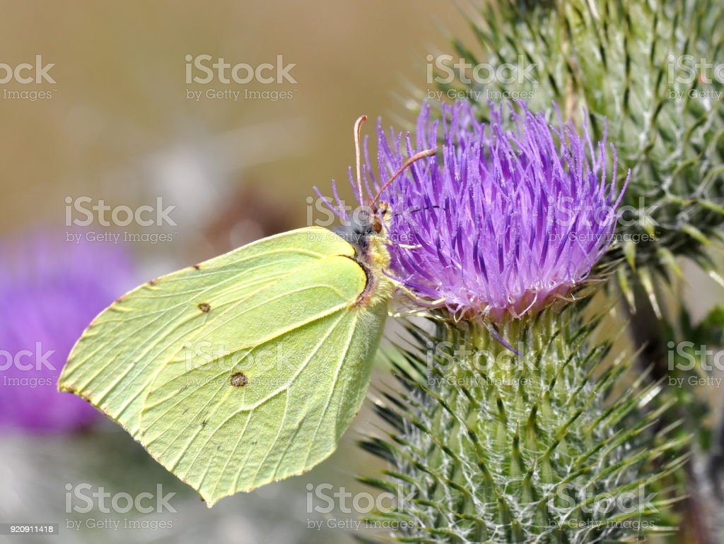 Gonepteryx rhamni stock photo