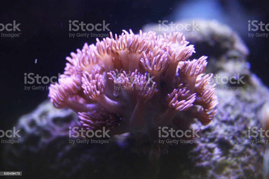 goniopora coral stock photo