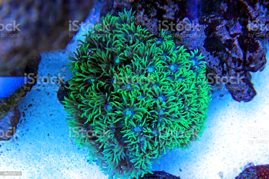 Goniopora lps coral in reef tank stock photo