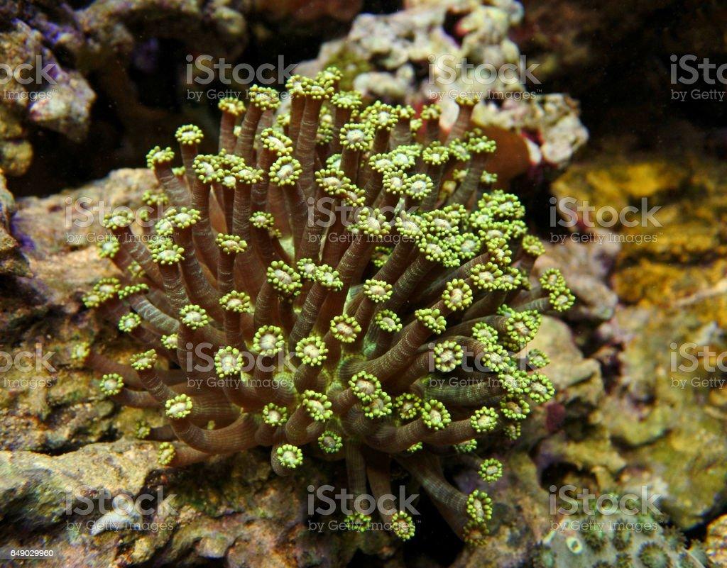 Goniopora.Flowerpot coral. Green. stock photo