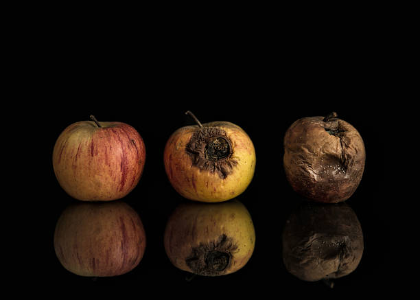 Good, bad and rotten apples Line of three apples including good, bad and completely rotten. Set on black background with reflection. Illustrates progression from health to decay, also can be metaphorical for change from good to evil. rotting stock pictures, royalty-free photos & images