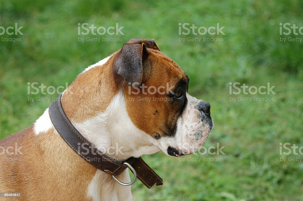 good boxer royalty-free stock photo