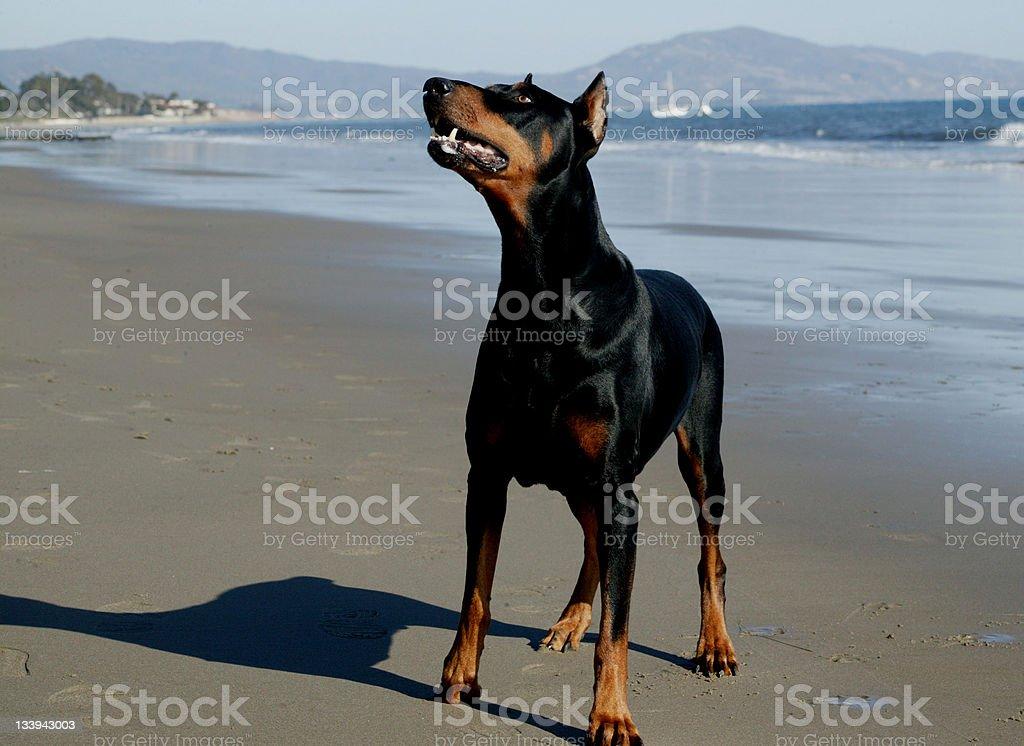 Good Boy ! royalty-free stock photo