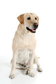 Pretty yellow lab sitting and looking up just off camera. Click photo below to see all pictures of Tucker the lab.