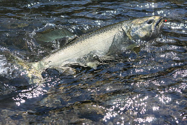 good day salmon fishing! - chinook salmon stock photos and pictures