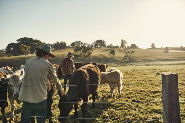 Good farmers get to know their herds Shot of two farmers tending to their herd of livestock in the field ranch stock pictures, royalty-free photos & images