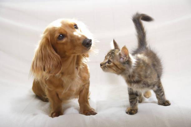ソファーの上の仲良しダックスと子猫 - ペット ストックフォトと画像