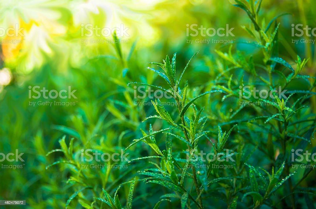 Good green tarragon stock photo